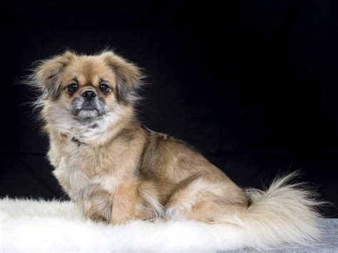 Tibetan Spaniel Dogs Breed Information Omlet