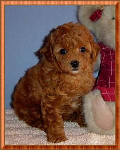 Toy Poodle | Red Tiny Toy Poodle Puppy - Female - For Sale ...