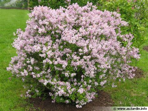 planter lilas en pot quand planter un lilas