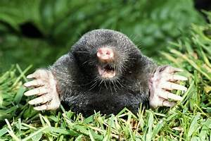 mole vole difference