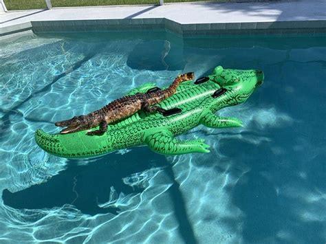 vacationers find alligator  alligator pool float neatorama
