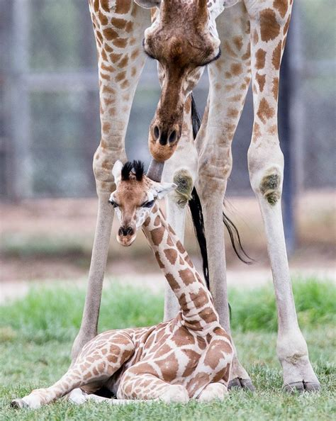 Wallpapers Of Baby Animals - baby giraffe wallpapers baby animals