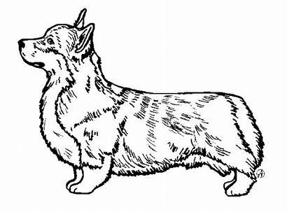 Welsh Pembroke Corgis Corgi Drawing Dog Pet