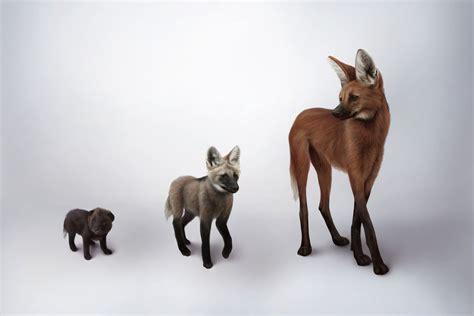 led light south america s fox on stilts earth archives