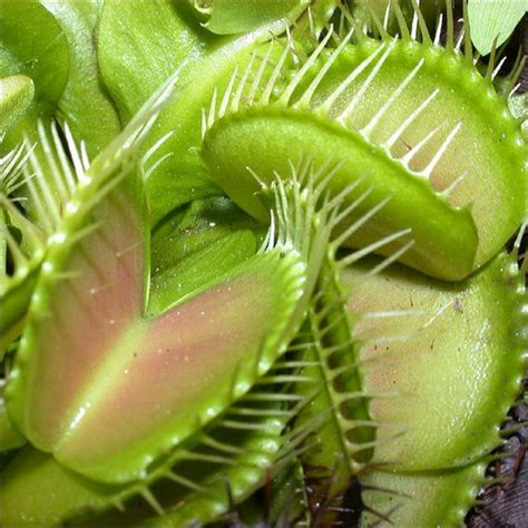 fly trap plant what s your favourite kind of plant social anxiety forum