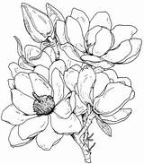 Magnolia Coloring Flower Tree Flowers Outline Template Drawing Magnolias Sketch Experiment Technique Thursday Gazebo Flickr sketch template