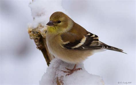 south shore birder american goldfinch winter plumage