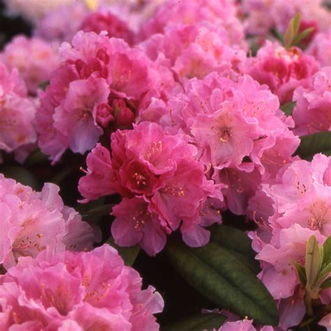 planter un rhododendron en pot planter un rhododendron dans votre jardin sedgu