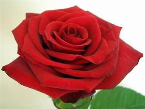 Wann Pflanzt Man Kirschlorbeer : wann pflanzt man rosen wann rosen schneiden ansteht ~ Lizthompson.info Haus und Dekorationen