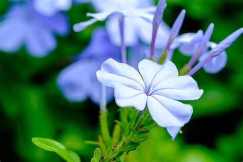 piante da davanzale plumbago il gelsomino azzurro ecco come coltivarlo