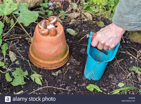 Tulpenzwiebeln In Einen Garten Zu Pflanzen Stockfoto, Bild