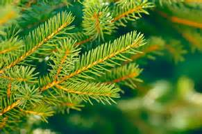 3 Kinds Of Christmas Trees by Trees How To Identify Tree Leaves