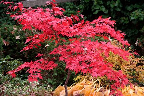 japanese maple pictures japanese maple tree a blood good japanese maple