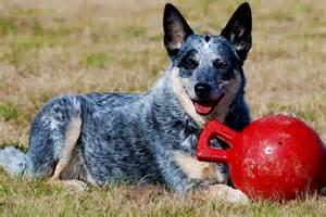 blue heeler australian cattle dog boiadeiro australiano