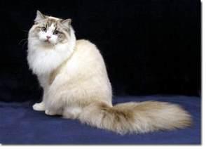 ragamuffin cats cat breed profile ragamuffin
