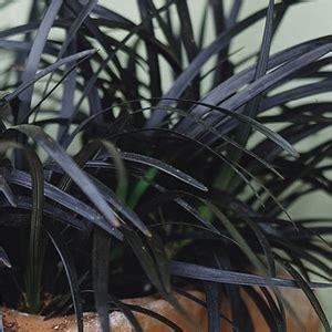 ophiopogon planiscapus ebony knight black mondo grass