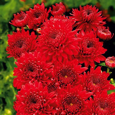 Garten Chrysantheme Kaufen by Garten Chrysanthemen Feuerzauber Kaufen Bei