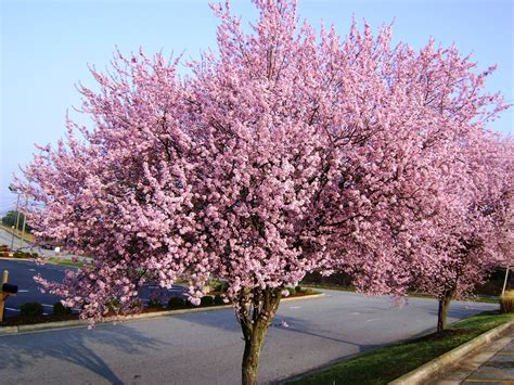picture of plum tree flowering plum tree in jonesville nc flickr photo sharing