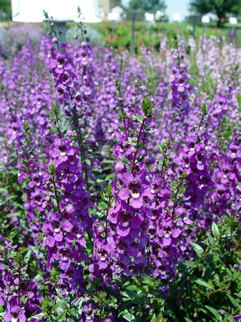 purple flower vine plants angelonia serena series garden housecalls
