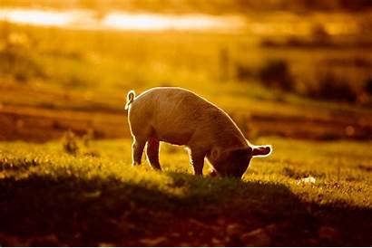 Pig Background Walking Young Wallpapers Pro Tulian
