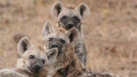 laughing hyena sound real laughing hyenas beg