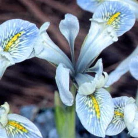 iris histrioides frank elder bulbs for sale