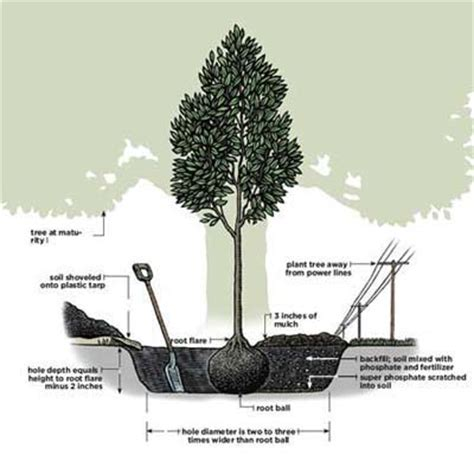 how to plant a tree overview how to plant a tree this old house
