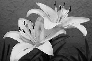 Black And White Lilies 1 Photograph by Amy Fose