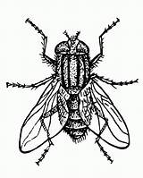 Fly Coloring Pages Clip Flies Getcoloringpages Printable sketch template