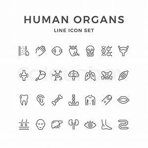 Set Line Icons Of Human Organs Isolated On White  Vector
