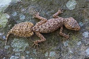 """The Southern Leaf-tailed Gecko Has Quite the Odd """"Leaf Me"""