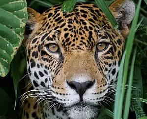 Jungle for Jaguars - World Land Trust  Jaguar