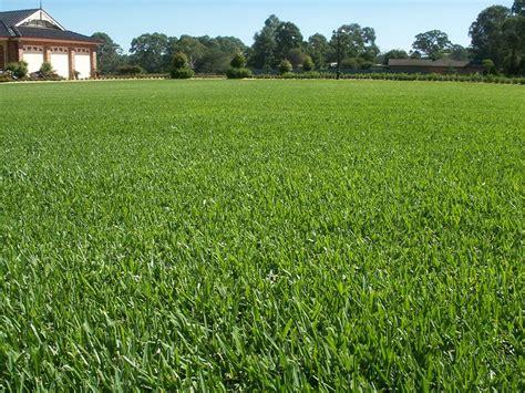 Sapphire Soft Leaf Buffalo Grass