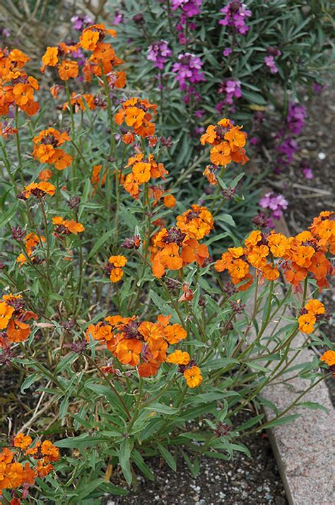 wallflower twist apricot erysimum plants flowers garden orange plant shelmerdine meadows nursery mountain washington wa seattle squakmtnursery renton