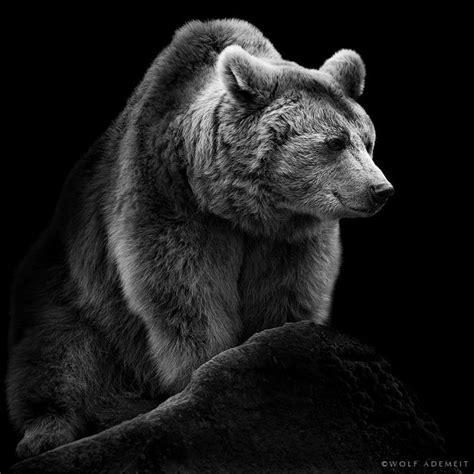 12096 professional photographs of animals photo noir et blanc de la s 233 rie des animaux wolf ademeit
