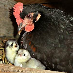 Annie and Her Chicks - Hatching Eggs under a Chicken ...