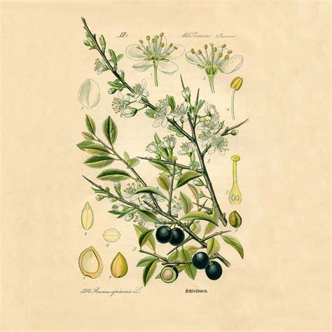 how to make botanical prints olive botanical print botanical poster vintage botanical