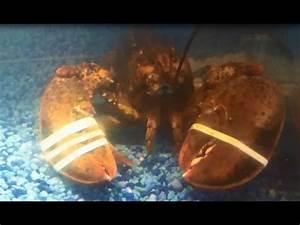 Image Gallery Lobster Tank