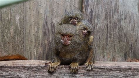 3 Pygmy Marmosets Reunited After They Were Stolen From Zoo
