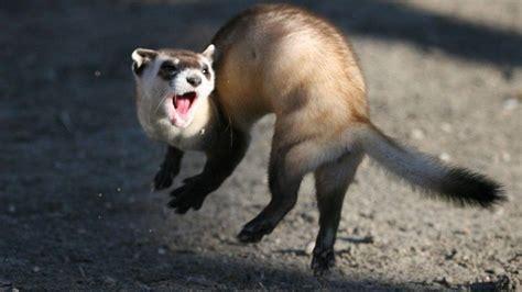 rule   black footed ferrets   comeback