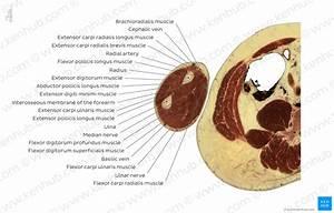 Diagram    Pictures  Flexor Carpi Ulnaris Muscle Level