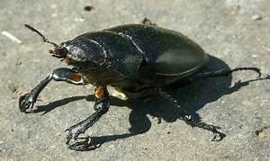Schwarze Käfer Im Garten : schwarze k nigspudel ~ Lizthompson.info Haus und Dekorationen
