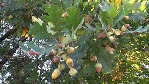 Aprikosenbaum Selber Ziehen : eichenb ume und kastanienb ume selber ziehen 1 youtube ~ A.2002-acura-tl-radio.info Haus und Dekorationen