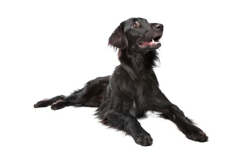 flat coated retriever molting best dogs 2013 breeds picture
