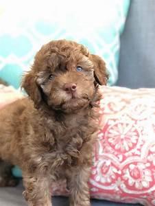 Toy Labradoodle -Teacup Labradoodle Puppies -Black, Red ...