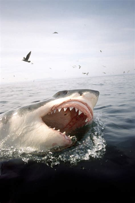 great white sharks find britains coasts perfect
