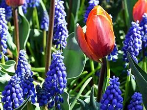 Planter Des Bulbes : bulbes planter l 39 automne pour floraison printani re ~ Dallasstarsshop.com Idées de Décoration