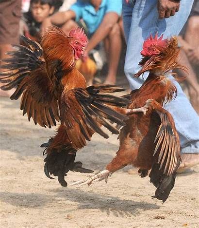 Cockfighting Cock Ban Fighting Fight Hc Upholds
