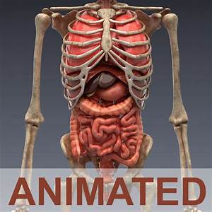 3d Model Human Anatomy Animated Skeleton And Internal Organs Vr    Ar    Low