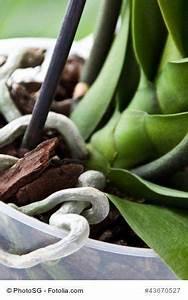 Luftwurzeln Bei Orchideen : die h ufigsten fehler bei der orchideen pflege im berblick einpflanzen gie en d ngen der ~ Frokenaadalensverden.com Haus und Dekorationen